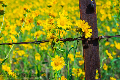 Yellow Flowers in focus with a field of out of focused yellow flowers in the background