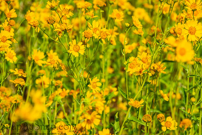 A field of yellow flowers with a small section of the flowers in focus providing depth
