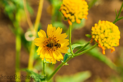 Detail of a honey bee on a yellow flower