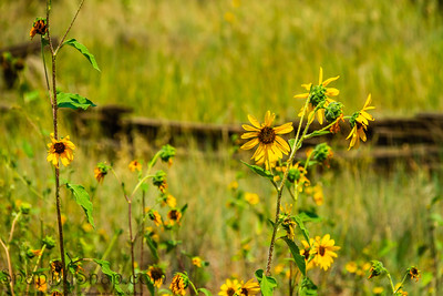 Yellow flowers lit by the sun in front of an old wooden fence