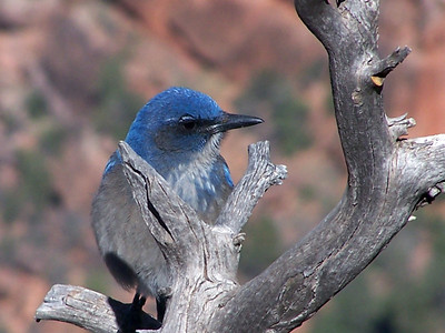 Mexican Jay at Grand Canyon