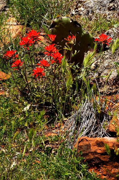 Indian Paintbrush growing in Red Rock Canyon near Sedona, Arizona.