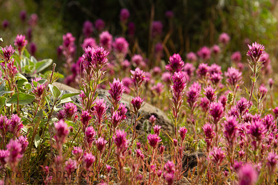 Close up of Purple Owl's Clover, also known as Exerted Indian Paintbrush, Castilleja exserta