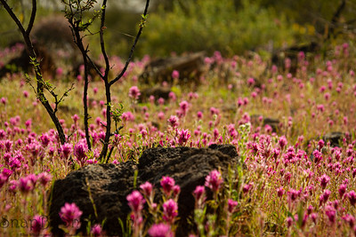 Close up of a field of purple owl's clover, a small tree and a rock with a very limited depth of focus in the Sonoran desert