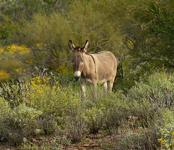 A wild burro standing among desert plants in the Sonoran desert