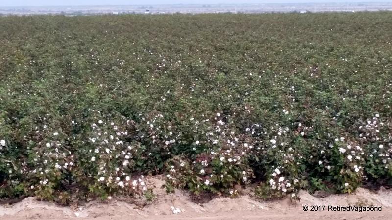 Arizona Cotton Field