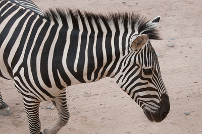One of several zebras at Out of Africa Wildlife Park Near Sedona, Arizona.  Click on Map This to view a satellite map pinpointing where each of where these photos was taken.