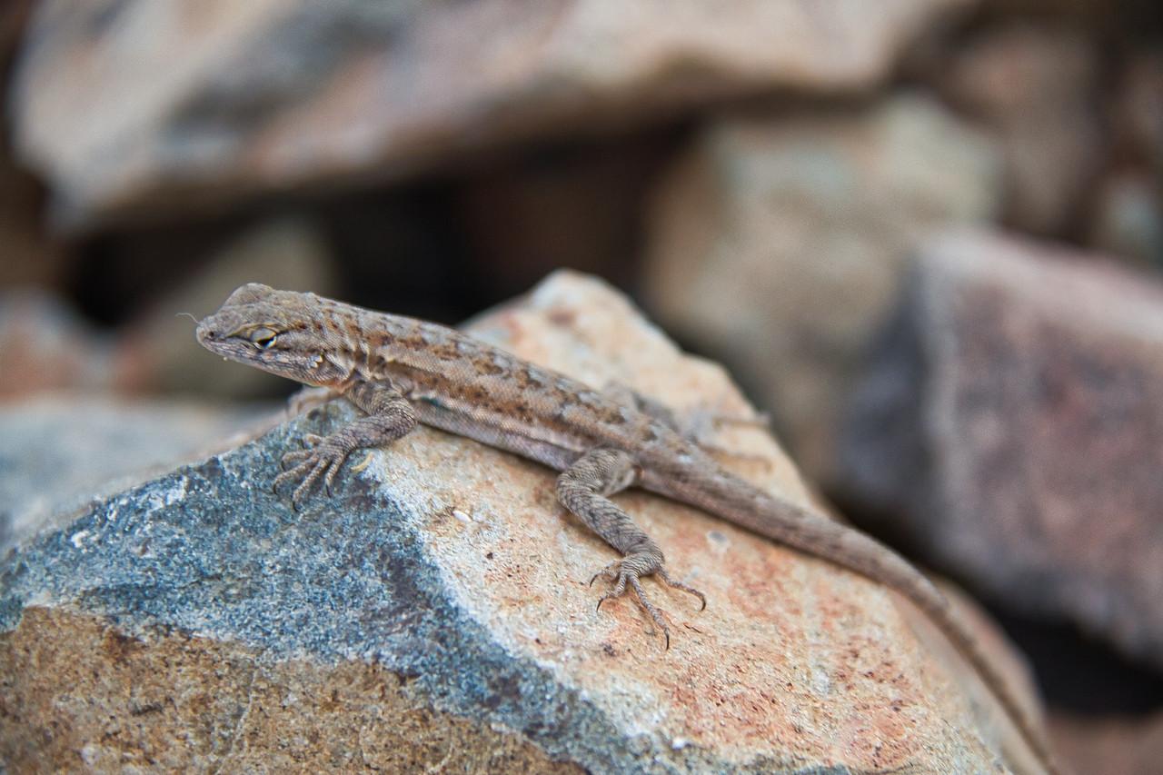 A Tree Lizard on a Rock