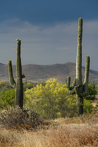 A pair of saguaro cacti with a yellow palo verde tree in the Sonoran Desert with a storm
