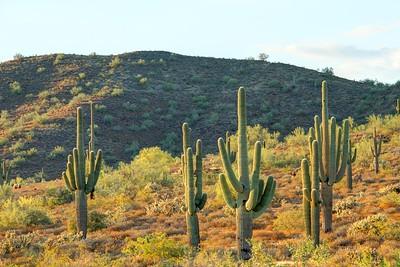 Saguaro Cactus and Mountain