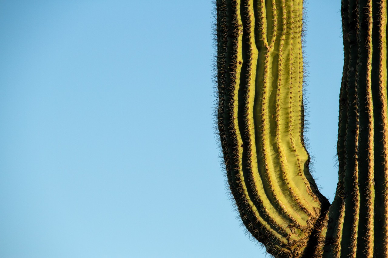 Detail of a Saguaro with Blue Copy Space