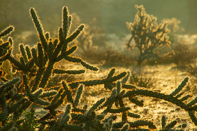 Staghorn cactus in the warm colors of morning light