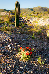The brilliant red blossoms of the Hedgehog cactus with a saguaro cactus in the background