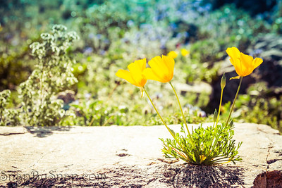 California Poppies Growing on a Rock