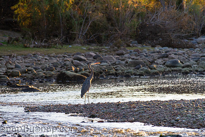 A great blue haring standing in the shallow waters of the Salt River