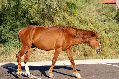 A wild horse from the Salt River herd