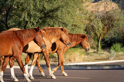 Three wild horses from the Salt River herd in Tonto Nation Forest