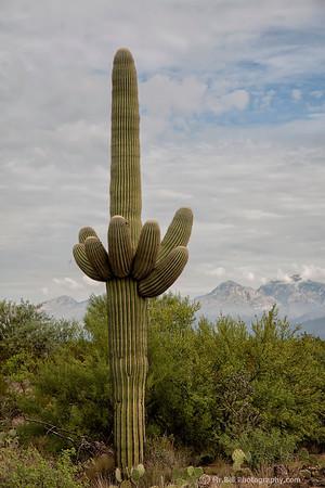 Saguaro Cactus @ Saguaro National Park, Tucson AZ