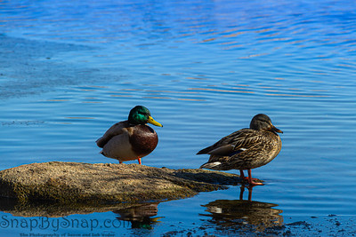 Close up of two ducks on a rock with their reflection