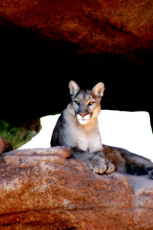 Beautiful Mountain Lion at the Arizona-Sonora Desert Museum, Tucson