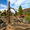 Dead tree. Sunset Crater National Monument, AZ