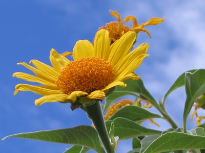 Mexican Sunflower, Tucson Botanical Garden