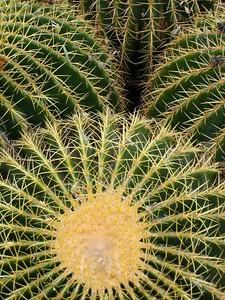 Barrel Cactus, Tucson AZ