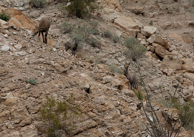 2 Female Desert Bighorn Sheep and Lamb