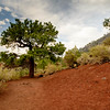 Tree on red lava rock. Sunset Crater National Monument, AZ