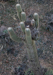 Owls nest with 3 eggs in a swarrow cactus