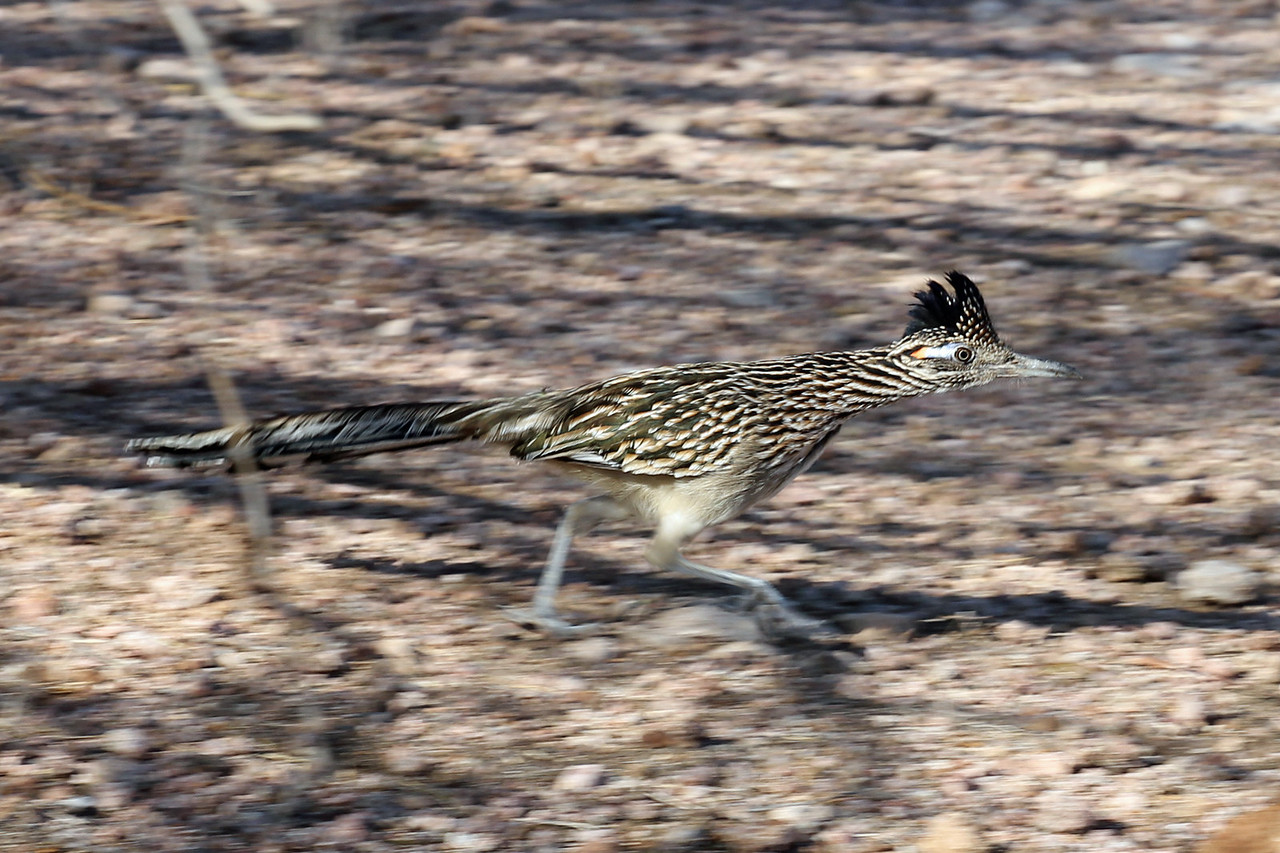 After much looking we finally saw a road runner!  They're fast but unfortunately don't go Beep beep.