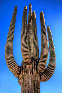 Reach for the sky, Saguaro