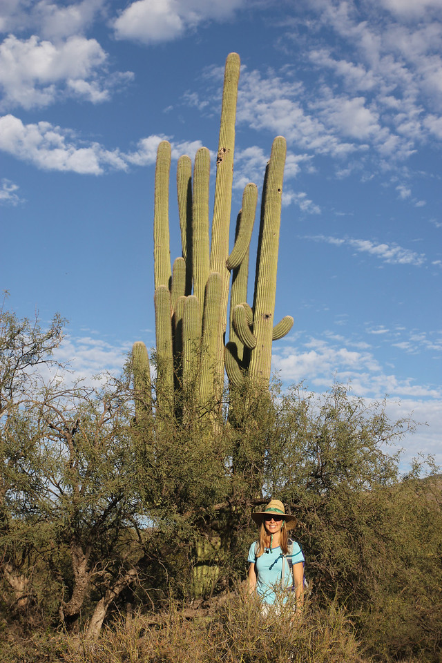 Saguaro National Park - Whenever it rains, saguaros soak up the rainwater. The cactus will visibly expand, holding in the rainwater. It conserves the water and slowly consumes it.