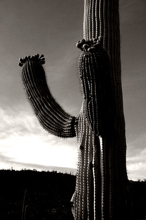 """Hands up!"" Saguaro Cactus"