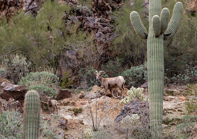 Female Desert Bighorn Sheep and Lamb