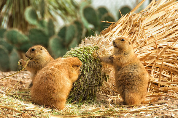 Three prairie dogs hard at work eating.  Tucson, AZ.
