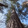 Crater of Diamonds State Park, Arkansas. River Trail, loblolly pine.