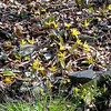 Hot Springs, AR KOA nature trail. Yellow dogtooth violet.