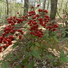 Garvan Woodland Gardens, near Hot Springs, AR. Burning Bush.