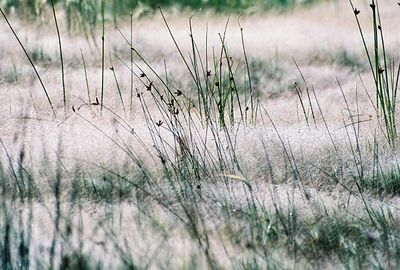 8/16/04 Grasses at Mono Lake Access Area, Eastern Sierra, Mono County, CA