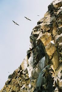 8/19/04 Brown Pelicans at Morro Rock. Morro Bay, San Luis Obispo County, CA