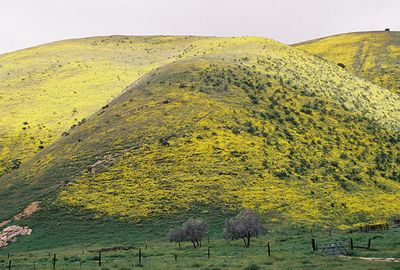 3/20/05 Coreopsis-covered hills off Hwy 58 through the Temblor Mountains (descending into Carrizo Plain. San Luis Obispo County, CA
