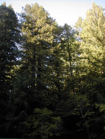 Armstrong Forest- NorCal