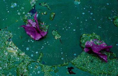Bouganvillea blossoms dropped on lily pads in a water garden, Taipei, Taiwan