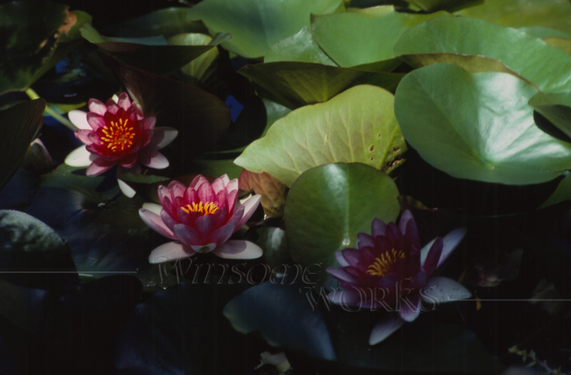 Pink lily pad blossoms in a Taipei water garden