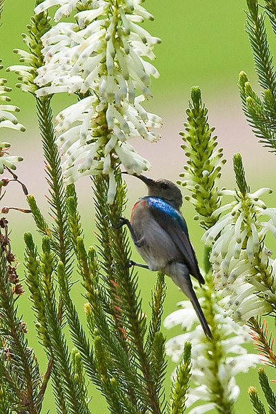 Southern (Lesser) Double-collared Sunbird m