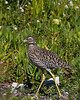 Cape Town - Spotted Thick-knee