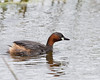 Little Grebe (Dabchick)