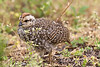 Cape Francolin chick