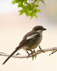 Common Fiscal (Fiscal Shrike)